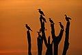 Cormorants roost DSC 1524.jpg