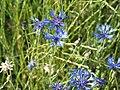Cornflower - panoramio (1).jpg