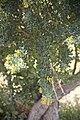 Coronilla valentina-3127.jpg