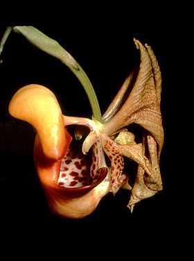 Coryanthes picturata Orchi 01.jpg