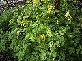 Corydalis-lutea-plant-hr.jpg