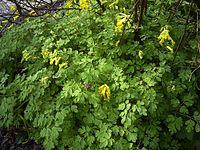 Corydalis-lutea-plant-hr