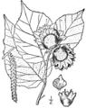 Corylus americana drawing.png