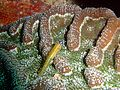 Coryphopterus lipernes.jpg