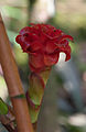 Costus inflorescence and insects MG 5415.jpg