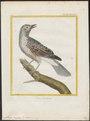 Cotinga cayana - 1700-1880 - Print - Iconographia Zoologica - Special Collections University of Amsterdam - UBA01 IZ16600079.tif