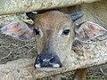 Cow in Pen - Khang Ninh Commune - Ba Be - Vietnam (48107604593).jpg