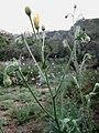 Crepis foetida inflorescence (03).jpg