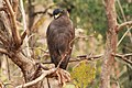 Crested Serpent Eagle 2.jpg