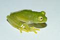 Cricket Glass Frog - Hylinobatrachium colymbiphyllum.jpg