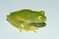 Cricket Glass Frog - Hylinobatrachium colymbiphyllum.jpg