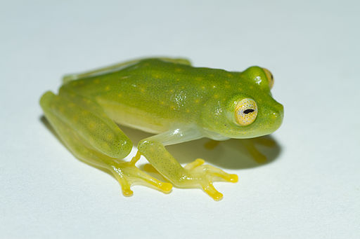 Cricket Glass Frog - Hylinobatrachium colymbiphyllum