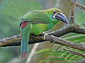 Crimson-rumped Toucanet SMTC.jpg