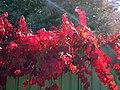 Crimson glory vine.jpg