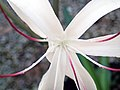 Crinum americanum (string lily) 4 (49748616236).jpg