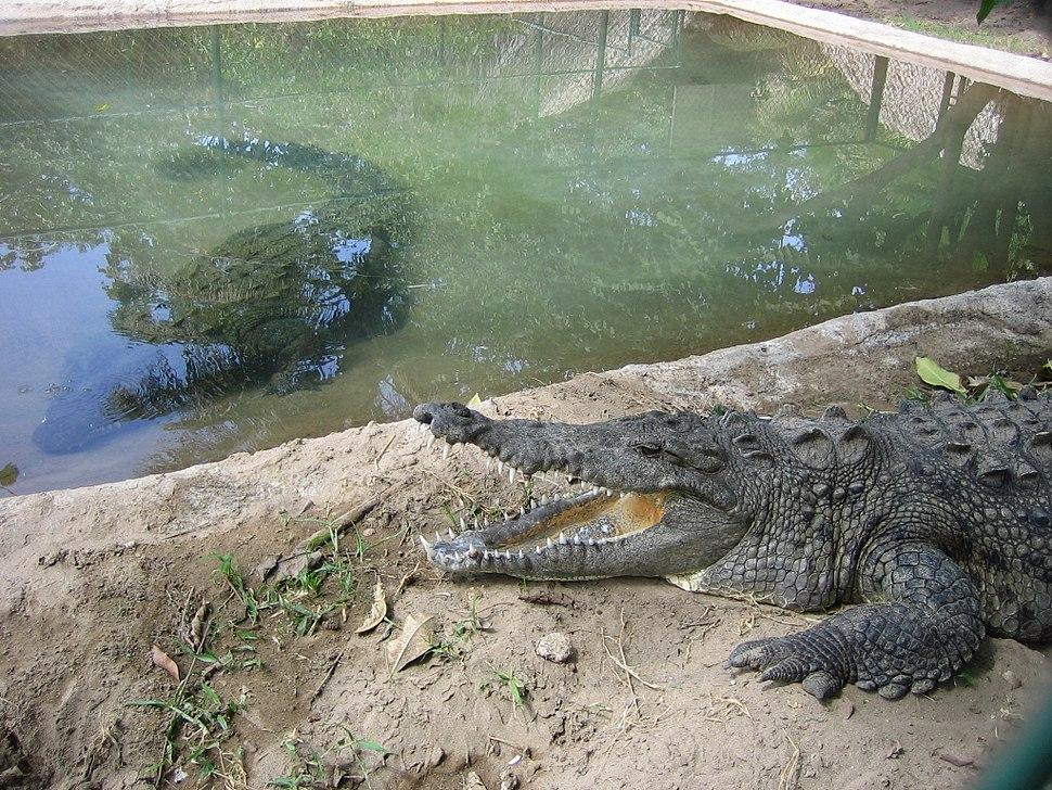 Crocodile farm in Mexico