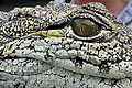 Crocodile in Torremolinos 06.jpg