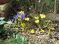 Crocus Dorothy or Gipsey Girl ^ Iris Harmony - Flickr - peganum.jpg