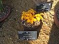 Crocus gargaricus subsp. gargaricus 04.jpg