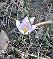 Crocus serotinus salzmannii 1.JPG
