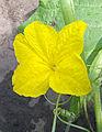 Cucumis sativus cucumber male flower, komkommer mannelijke bloem (1).jpg