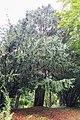 Cupressus cashmeriana CBN Brest 01.jpg