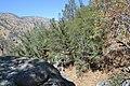 Cupressus nevadensis Hobo Ridge Grove (40) - Flickr - theforestprimeval.jpg
