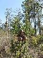 Cupressus pygmaea, at Salt Point, Mendocino, California.jpg