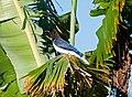 Cyanocorax cristatellus -Piraju, Sao Paulo, Brazil-8.jpg