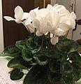 Cyclamen persicum Miller-white.jpg