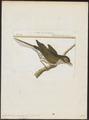 Cyclarhis guianensis - 1700-1880 - Print - Iconographia Zoologica - Special Collections University of Amsterdam - UBA01 IZ16600283.tif