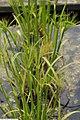 Cyperus papyrus 13zz.jpg