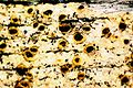 Cyphelium tigillare-2.jpg