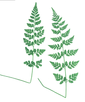 Cystopteris protrusa-fronds.png