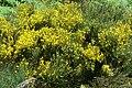 Cytisus oromediterraneus Ardèche.jpg