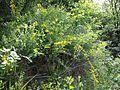 Cytisus procumbens sl32.jpg