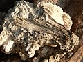 Débris de corail (Île de la Réunion).JPG