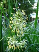Dactylis glomerata (2005 07 28).jpg
