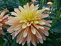 Dahlia concours international 2012 Parc Floral 8.JPG