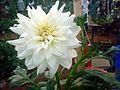 Dahlia flower 7.JPG