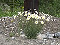 Daisy Bouquet - panoramio.jpg