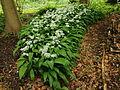Daslook (Allium ursinum).JPG