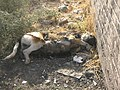 Dead Dog - Near Hakim Hospital of Nishapur 5.JPG