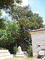 Dediğiolur sultan türbesi bahçesindeki ağaç 3 longuner - panoramio.jpg