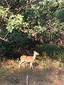 Deer img.jpg
