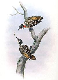 Dendrocopos temminckii by John Gould