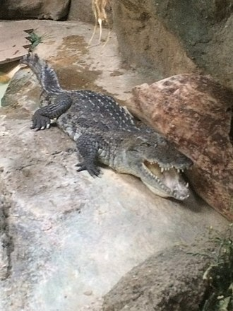 West African crocodile - A West African crocodile at the Philadelphia Zoo thought to be a Nile crocodile until 2018