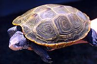 A diamondback terrapin standing on a log with its head raised and body facing left.