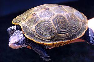 Adult female Diamondback turtle being balanced...