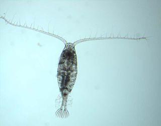 Calanoida order of crustaceans
